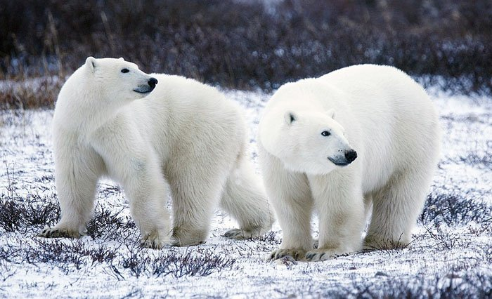 Polar bears in Manitoba, canada